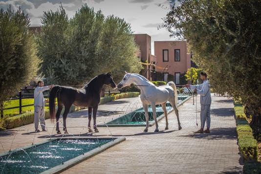 Arabian Purebred Horses at the Selman