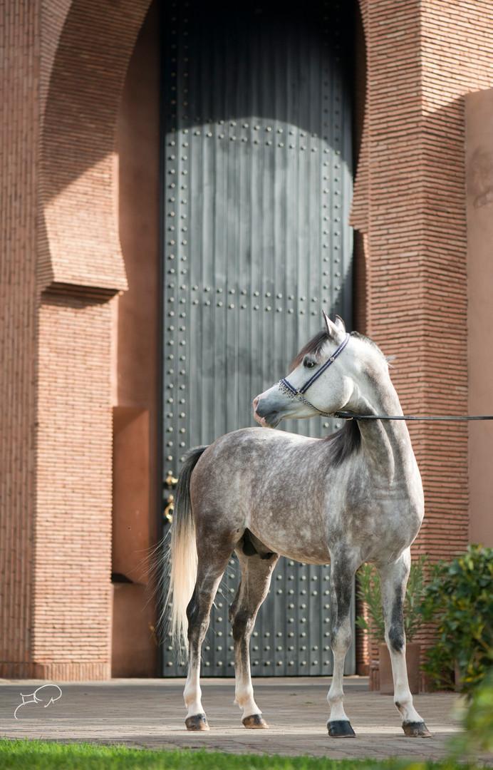 Kensous the Arabian horse