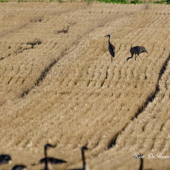 Sandhill Cranes in North Field
