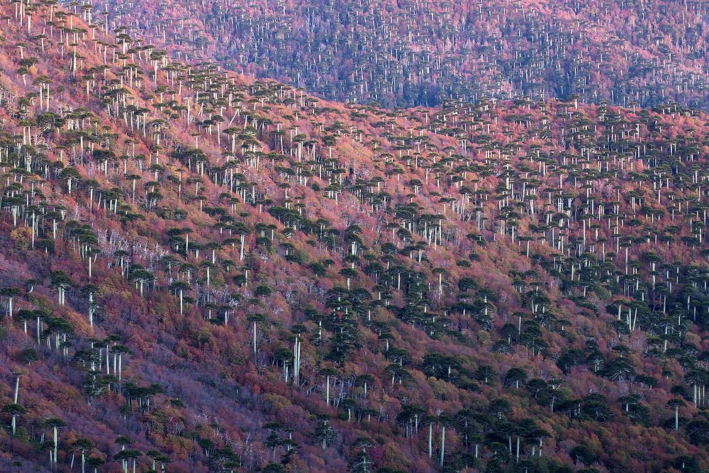 Foresta vergine, Cile