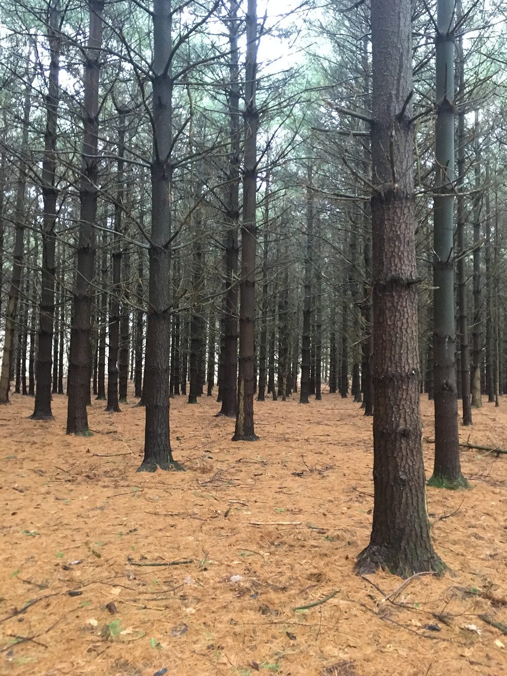 harvested pine trees forest cuttings growth