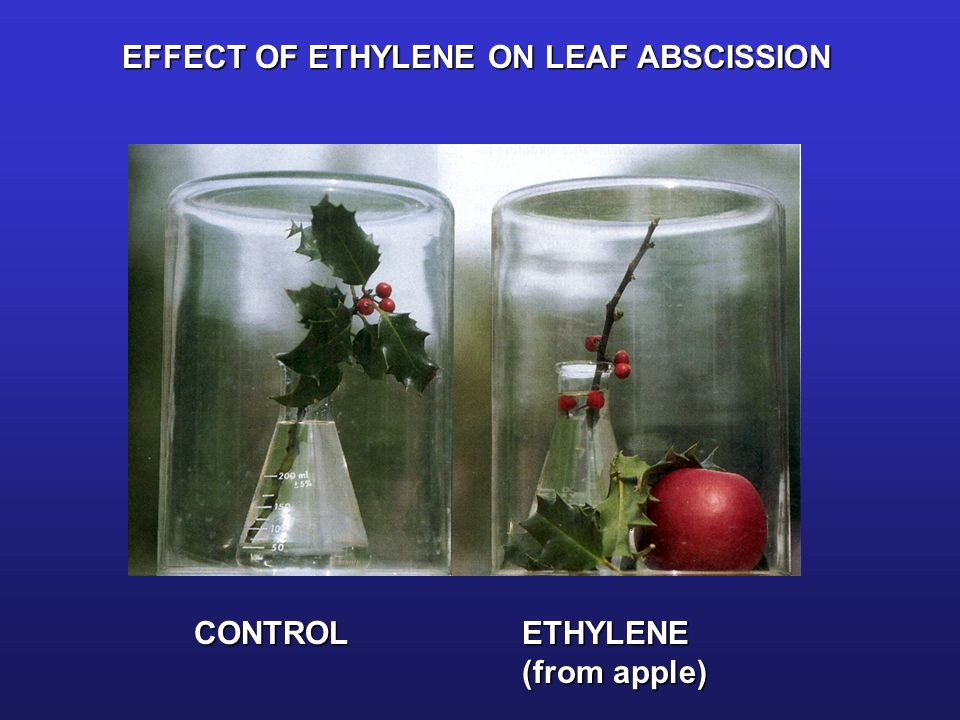 ethylene apple holly abscission defoliation