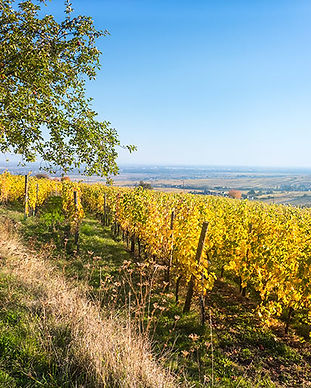 a-view-over-a-vineyard-at-alsace-france-