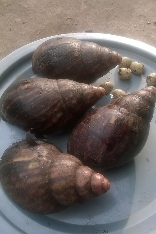 Large Table size snails