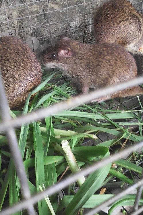 Grasscutters (Colony)