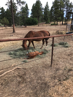 baby horse sleeping in the hay