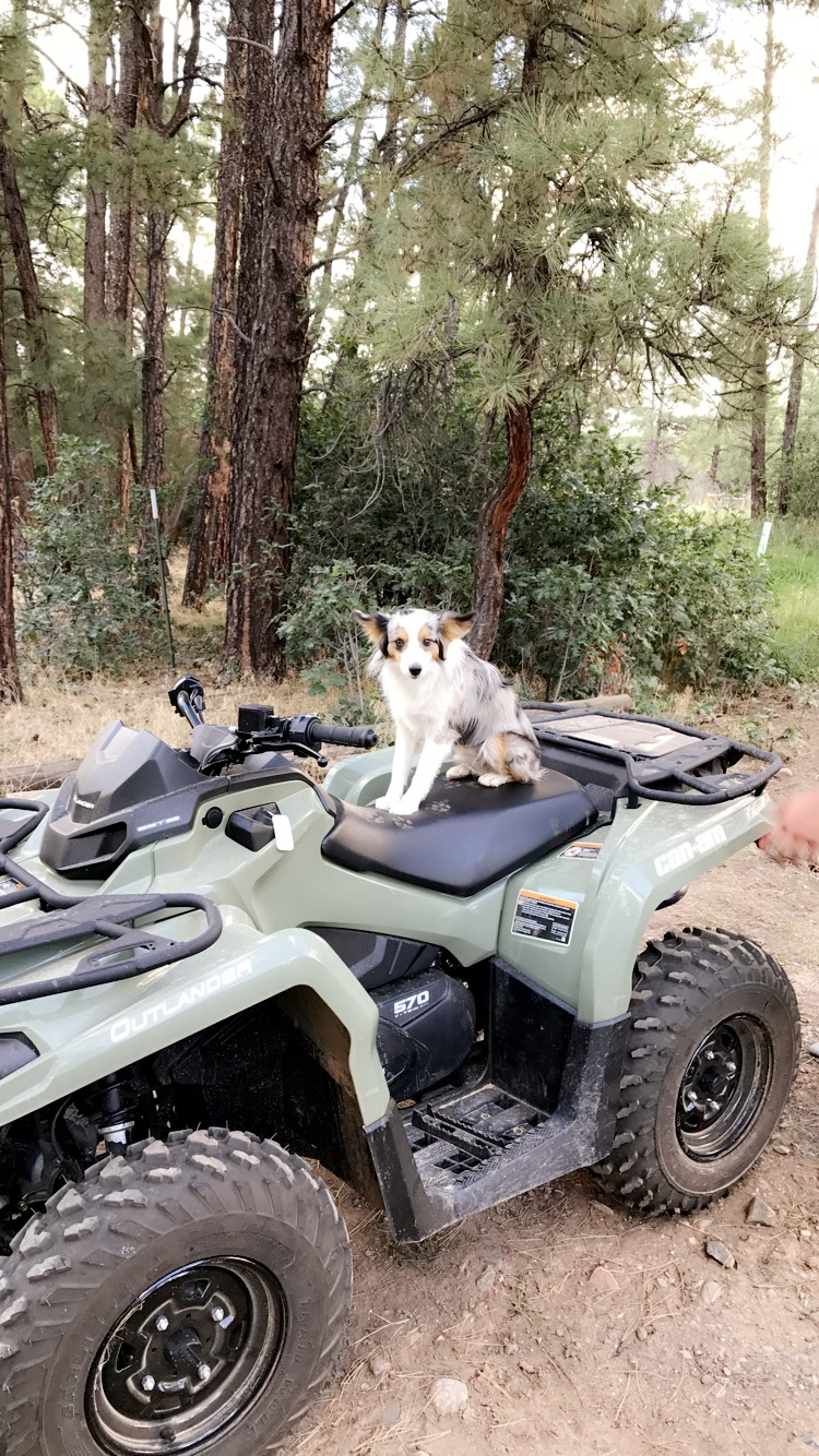 stable dog on four wheeler