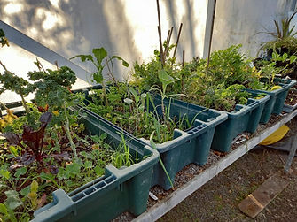 Seedlings to transsplant.jpg