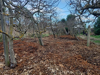 Orchard - mulched.jpg