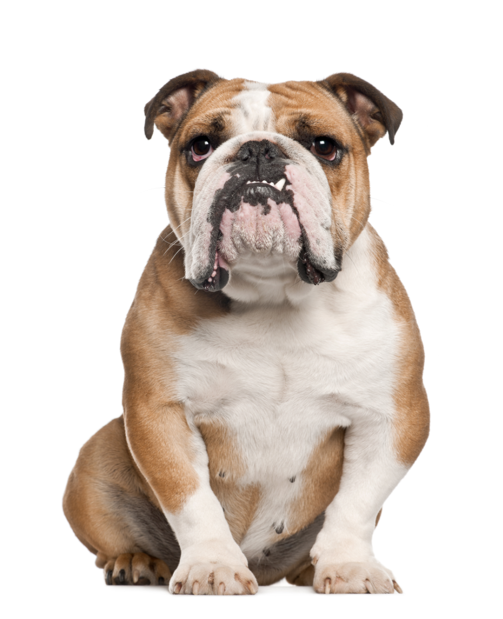 Iconic project managers have the tenacity of a bulldog