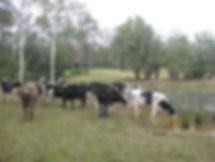 Camden Park House, Macarthur, Dairying, Dairy, Milk, Cows, Farm, Rotolactor