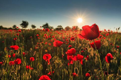 Fallen-Fields-World-War-One-Poppies-624x
