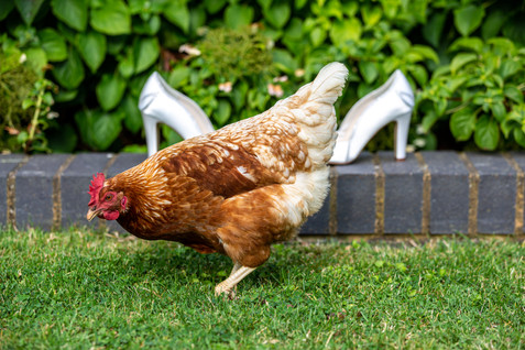Chicken walking past the Brides wedding shoes.