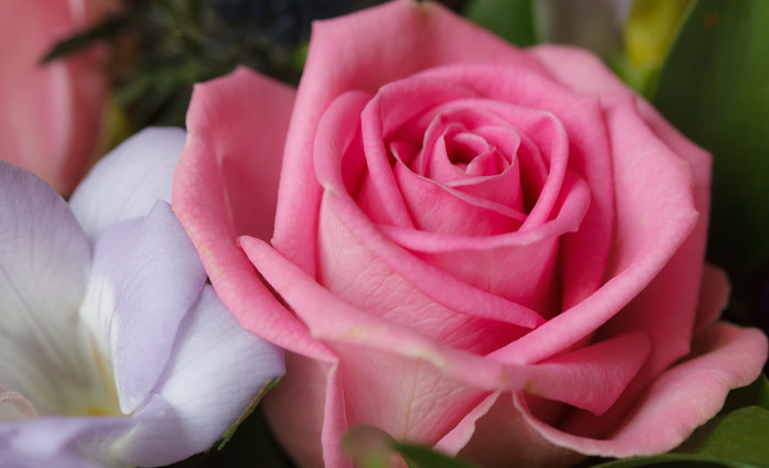 Pink and White rose.
