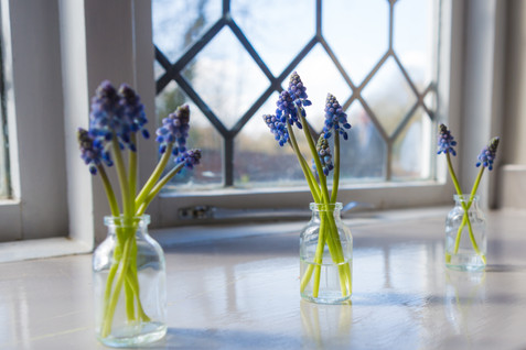 Blue Bells in littel jars of water next to a window.