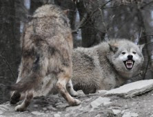 Five Werewolf Clichés for Paranormal Romance