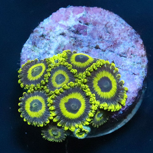 LA Lakers - From £12 Per Polyp