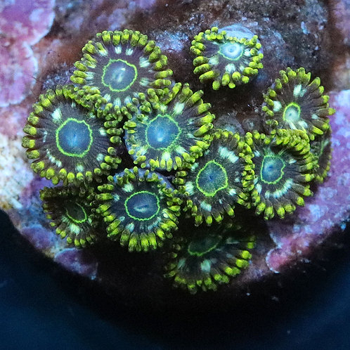 Speckled Hornet - From £18 Per Polyp