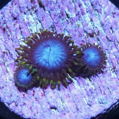 HD Smurf Blood 1 Polyp  - WYSIWYG