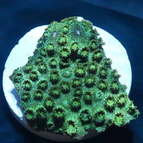 Aussie Gold Cyphastrea Frag - WYSIWYG