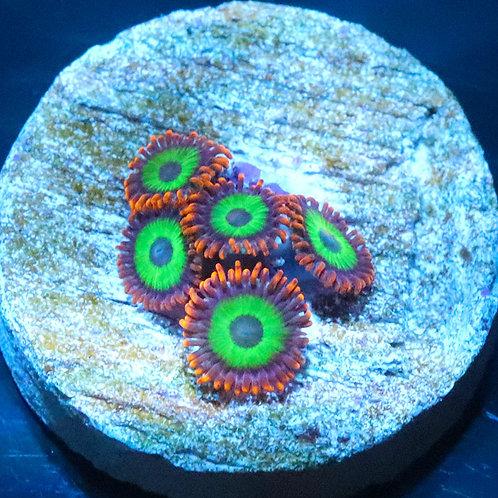 Emeralds on Fire 5 polyp frag - WYSIWYG