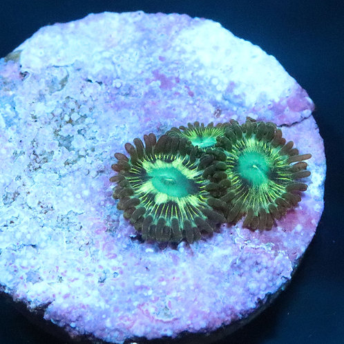 Bad Mother Pucker - From £20 Per Polyp