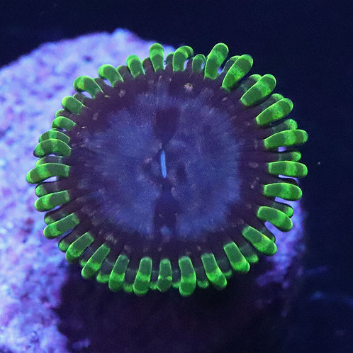 Purple Monster 1 Polyp - WYSIWYG