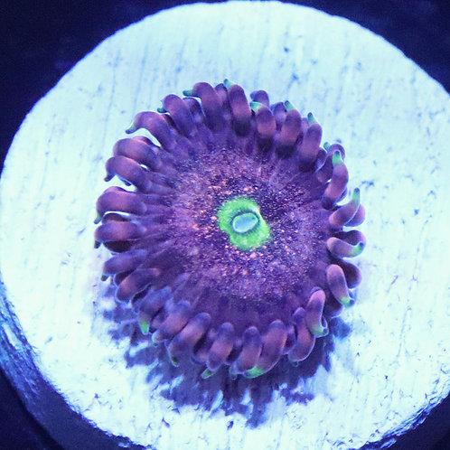 Pink Eye 1 Polyp Frag  - WYSIWYG