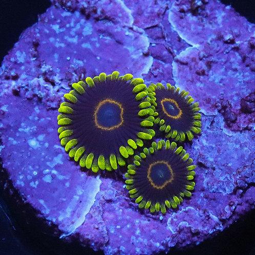 Purple Heart 3 Polyp  - WYSIWYG