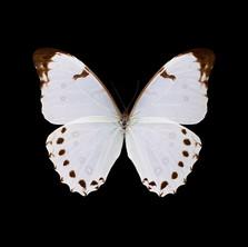 Morpho polyphemus luna-R-M.jpeg