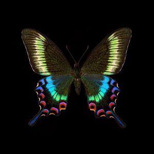 Papilio maackii-F.jpg