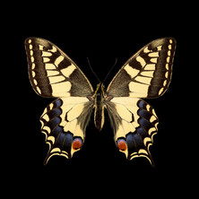 Papilio machaon-F.jpeg