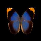 Caligo beltrao-R.jpg