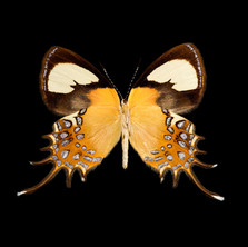Helicopis cupido-M.jpeg