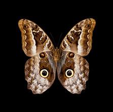 Caligo idomeneus-V.jpeg