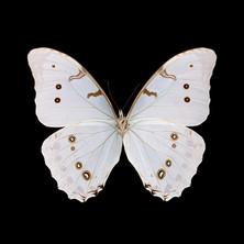 Morpho polyphemus luna-V-M.jpeg
