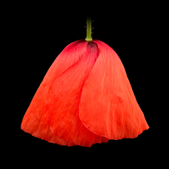 21-Poppy-II.jpg