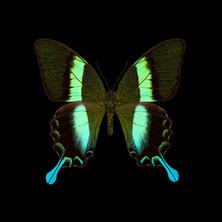 Papilio blumei.jpeg