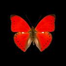 Cymothoe sangaris.jpg