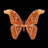 Attacus atlas-M.jpg