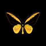 Ornithoptera croesus croesus.jpg
