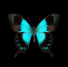 Papilio pericles.jpeg