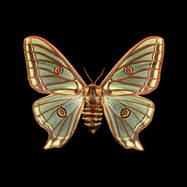 Graelsia isabellae-R-F.jpg