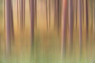 Beneath the pine trees III