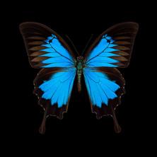 Papilio ulysses.jpeg