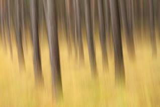 Beneath the pine trees IV