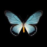 Papilio zalmoxis-R.jpg