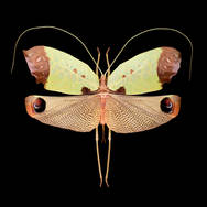 Pterochroza ocellata III-R-F.jpg