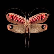 Pterochroza ocellata II-F-V.jpg
