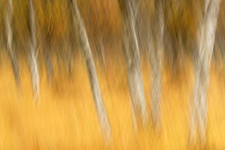 Autumnal birches